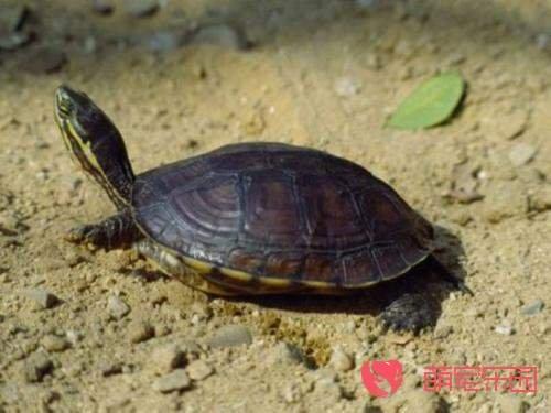 教你如何正确饲养安南龟